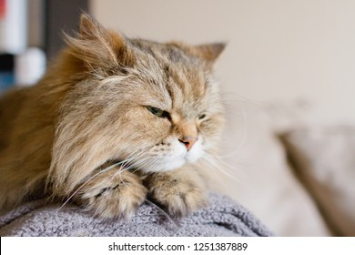 5049f0148d77 Front facing off center portrait of a brown adult long haired cat laying  down with his