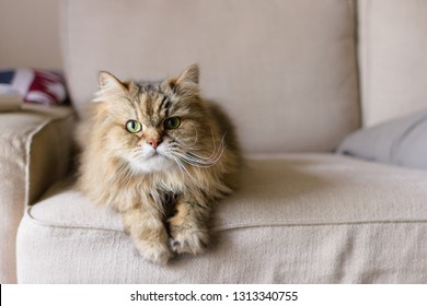 Front facing portrait of a brown long haired adult cat laying on a tan sofa with its feet hanging off the front of the cushion with a playful expression on its face and soft focus of pillows