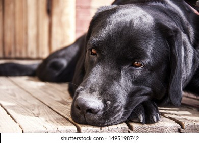 Front facing portrait of a tired black labrador retriever adult dog laying on a wood floor.