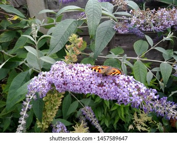 A front facing red admiral butterfly on buddleia flower