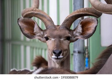 Front headshot of big kudu
