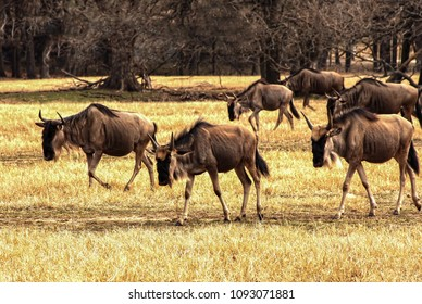 Front of a herd of wildebeests traveling down a well used trail in the summer heat.