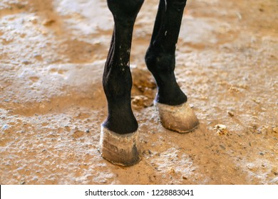 front hooves of a horse. hard horn formation around distal digital phalanges of ungulate mammals of forelimbs. front hoof.