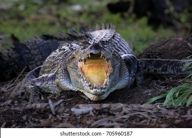 In front of an impressive Saltwater crocodile with open mouth,cooling down, Yellow Water, Kakadu National park, Australia