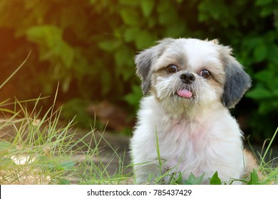 Front innocent face of young Shih Tzu dog, long tongue and doubtful, on green lawn with soft light