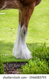 Front legs and hoofs of draft horse with white feathered feet standing on grass - Shutterstock ID 1966083793