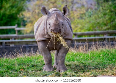 Front on view of a black rhino easting some straw