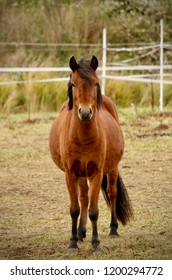 Front on view of a Gotland pony standing in a pasture