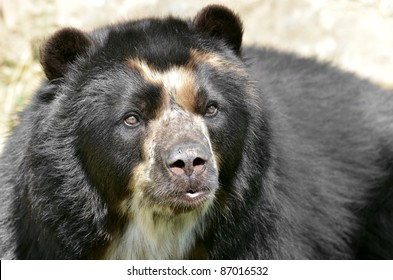 Front portrait of  andean bear (Tremarctos ornatus), also known as the spectacled bear