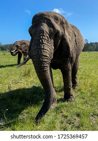 Front portrait of elephant with long trunk on a grassland in south africa, aldo elephant park