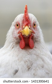 Front portrait of a white and young rooster with a beautiful red scarf