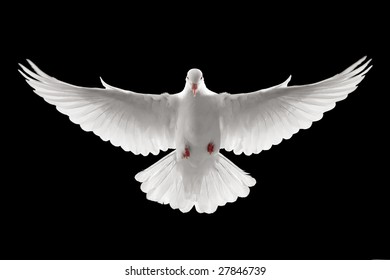 front profile of a flying white dove, isolated