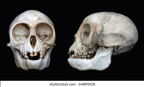 front and profile views of skull of Nilgiri langur (Trachypithecus johnii) from South India