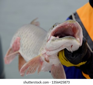 Front quarter foreshortened view of a muskie fish with open mouth and teeth exposed being held by a gloved handed angler in a blue and gold dry suit on a cloudy day
