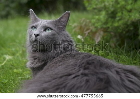 Front Rare Nebelung Cat Green Eyes Stock Photo Edit Now 477755665