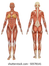 Female body diagram stock images royalty free images vectors front and rear view of female muscular anatomy very educational ccuart Image collections
