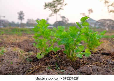 a front selective focus picture of coriander garden,future agriculture for safety food in Thailand
