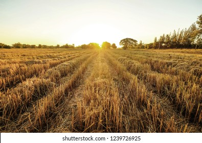 a front selective focus picture of dried golden  rice field after collecting season at agriculture farm in the evening summer sunset.