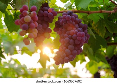 A front selective focus picture of grape fruit in organic agriculture farm