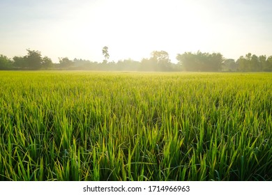 A front selective focus picture of green foggy rice field in the morning sunrise.