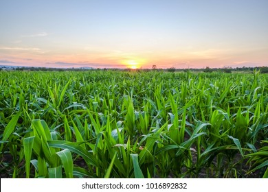 a front selective focus picture of organic young corn field at agriculture farm.