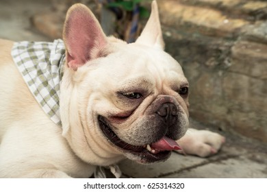 Front side French bulldog looks sad at home