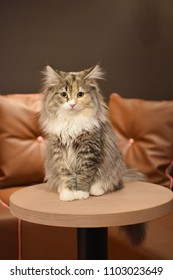 Front view of a adorable maine coon cat are sitting and looking forward on wooden table in Japanese cat cafe