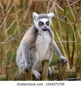 Front view of an adult lemur katta
