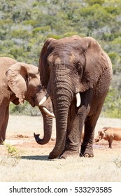 Front view of an African Elephant walking away from the dam.