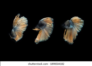 Front view angle of yellow golden halfmoon rosetail yellow gold cooper betta siamese fighting fish isolated on black color background. Photo collage