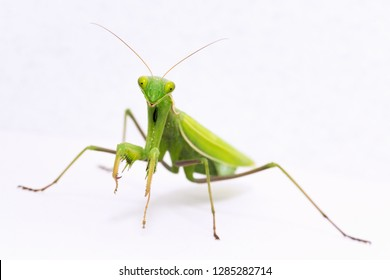 Front view animal portrait of green praying mantis insect on white background.