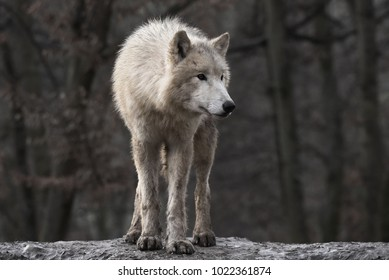 Front view to Arctic wolf