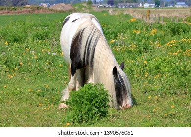 Front view of a beautiful Clydesdale horse grazing in the pasture during the summer months.