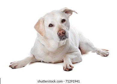 Front view of beautiful Labrador retriever dog lying, isolated on a white background