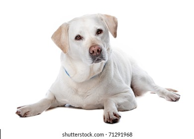 Front view of beautiful Labrador retriever dog isolated on a white background
