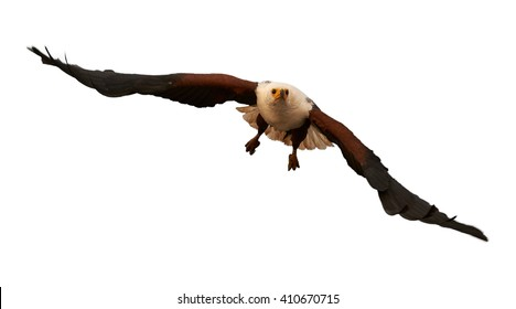 Front view of bird of prey, African fish eagle, Haliaeetus vocifer flying directly at camera with outstretched wings, isolated on white background. KwaZulu Natal, South Africa.