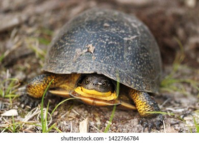 Front View of a Blandings Turtle with Yellow on Chin and Legs