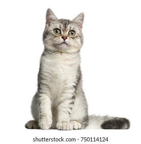 Front view of a British Shorthair kitten, sitting, 4 months old, isolated on white