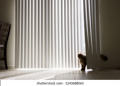 Front view of a brown, long haired cat playing and being sneaky in long, white vertical blinds on a tile floor and with sun peeking in from behind the cat