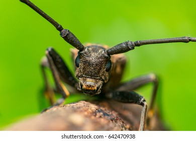 Front view of brown Spined Oak Borer Longhorn Beetle (Arthropoda: Insecta: Coleoptera: Cerambycidae: Elaphidion mucronatum) crawling on a tree branch isolated with buttery, smooth, green background