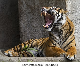 Front view close up shot of a Tiger roaring
