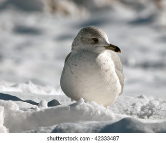 Front view closeup, Adult Ring Bill Seagull in the snow along the river. Sunrise , good detail in head and chest plumage