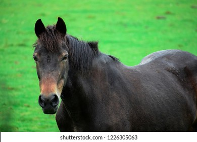 Front view Closeup of Beautiful black Horse looking at camera in a green field in springtime. Horse portrait