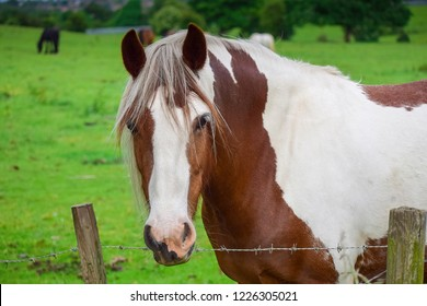 Front view Closeup of Beautiful Pinto brown Horse looking at camera in a green field behind a fence in springtime. Horse portrait