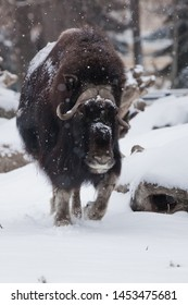 Front view, front comes forward. musk oxen under snowfall in winter, powerful northern beast of the glaciation era.