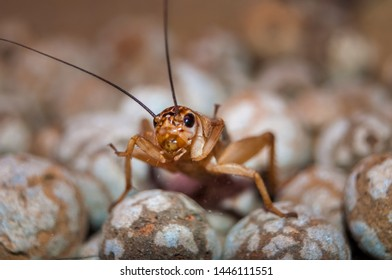 Front view of a Cricket. Crickets are insects of the Gryllidae family