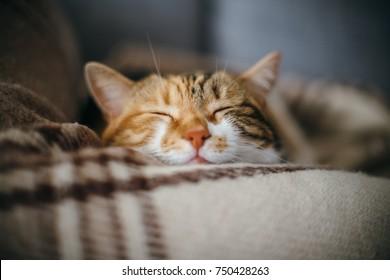 Vista frontale di carino bel gatto che dorme nei suoi sogni su un classico British fantasia trapunta