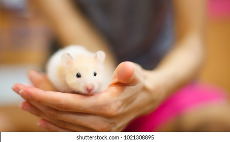 Front view of Cute Orange and White Syrian or Golden Hamster (Mesocricetus auratus) climbing on girl's hand. Taking Care, Mercy, Domestic Pet Animal Concept.