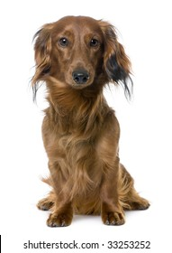 front view of a Dachshund, sitting, staring at the camera (1 year old) in front of a white background