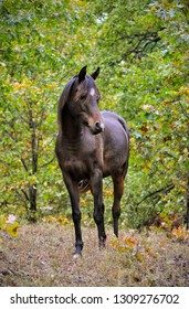 Front view of a dark bay Arabian horse standing in a small opening between trees in fall